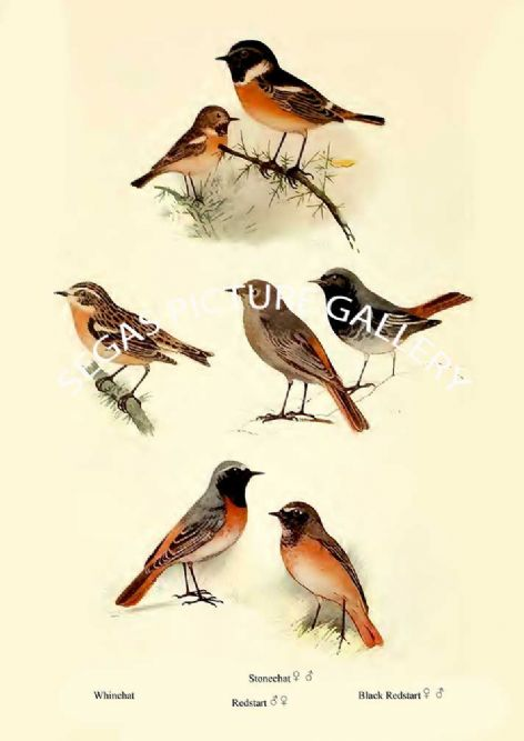 Fine art print of the Whinchat, Stonechat, Redstart & Black Redstart by William Foster (1922)